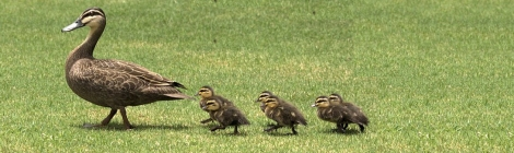 Marching Ducklings 470 x 140