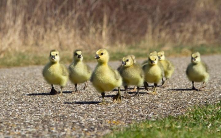 ducklings-750